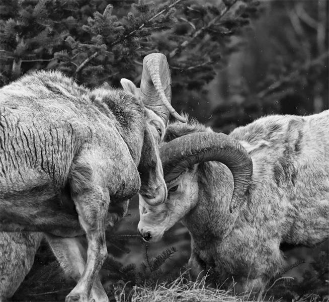Иосия Лаунстейн. Победитель в категории «Юный фотограф года». Снежные бараны в Национальном парке Уотертон-Лейкс.