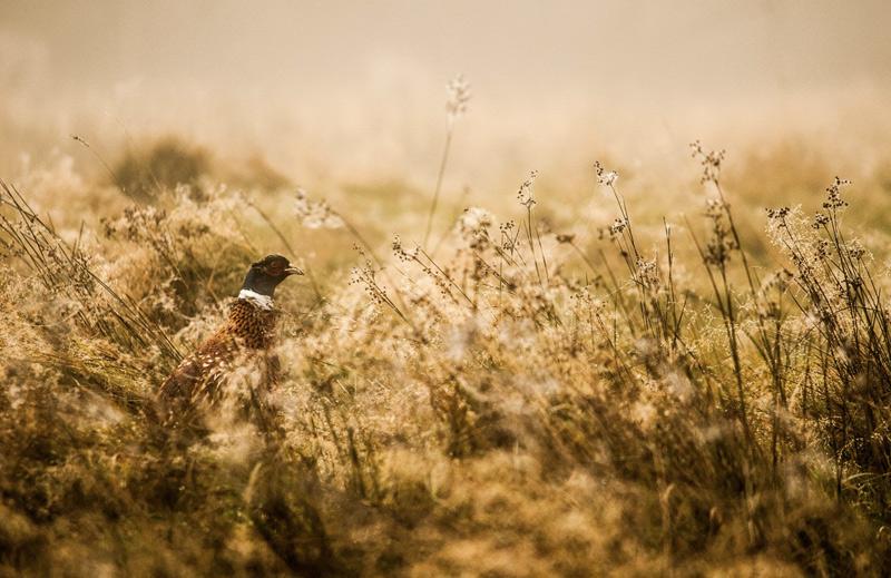 Уилл Хоукс. Вторая премия номинации «Юный фотограф года». Фазан.