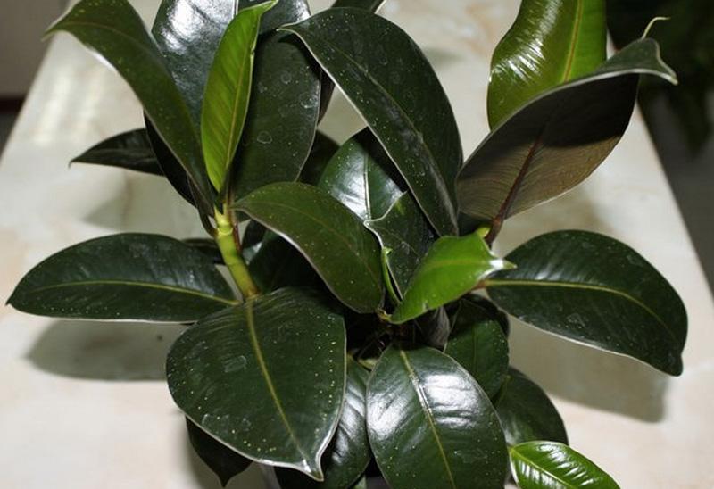 Фикус каучуконосный Эффективно очищает воздух от окиси углерода, формальдегида, трихлорэтилена и других вредных веществ, наиболее часто встречающихся в закрытых помещениях. В аюрведе это растение используется также для улучшения энергетики помещения.