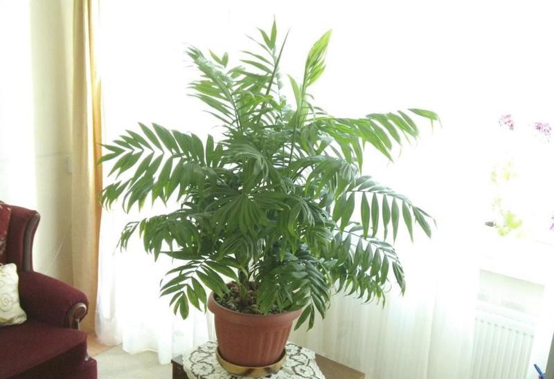 Бамбуковая пальма Растение вполне может обходиться без прямого солнечного света, и при этом очищать воздух от вредных веществ, а если установить его рядом с компьютером— оно снизит вред электромагнитного излучения.
