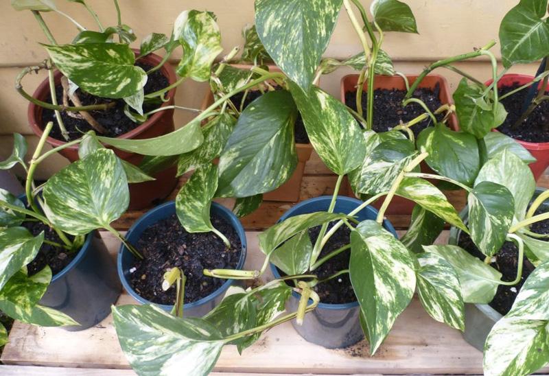 Сциндапсус золотистый Растение в целом улучшает качество воздуха в помещении. Особенно эффективно оно поглощает бензол, формальдегид, толуол и ксилол. Сциндапсус золотистый не сильно требователен к освещению, благодаря чему его можно размещать даже в таких местах, куда попадает мало света.