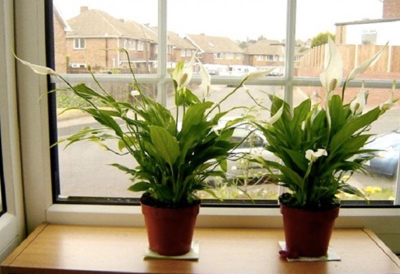 Спатифиллюм Растение очищает воздух от многих вредных органических соединений и снижает число микроорганизмов. Спатифиллюм является натуральным сорбентом бензола, формальдегида, трихлорэтилена.
