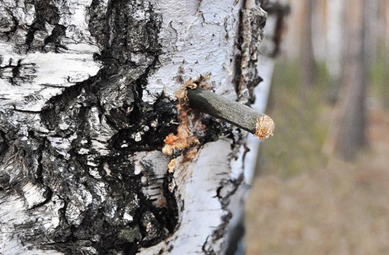 Восстановление дерева После того как сок собран, прорезь замазывают воском, садовым варом, затыкают мхом или другой естественной пробкой. Такая пробка защищает ствол от проникновения бактерий, которые могут нести дереву серьезный урон.