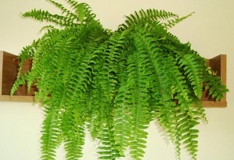 Нефролепис Растение из рода папоротников семейства Ломариопсисовые не только очищает воздух, но и увлажняет его. 2–3 взрослых растения могут увеличить влажность в помещении площадью не более 20 кв. м. до 75%.
