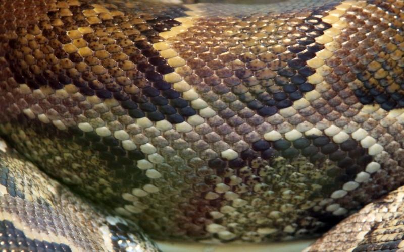 Змеи покрыты слизью Еще одна байка, не имеющая к змеям никакого отношения. Кожа этих рептилий практически не содержит желез и покрыта плотной гладкой чешуей. Именно из этой приятной на ощупь змеиной кожи изготавливают обувь, сумочки и даже одежду.