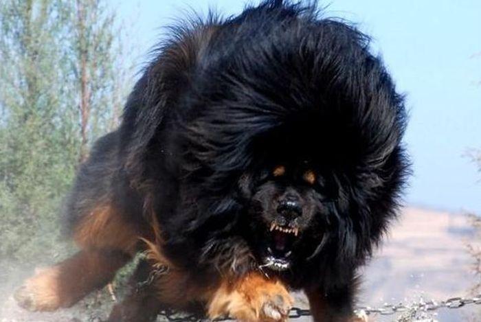 Не показывать спину Агрессивно настроенных собак необходимо всегда иметь в поле зрения. Повернувшись спиной, вы разбудите в них инстинкт охотника и спровоцируете их на атаку. Ведите себя спокойно, сдерживая страх, не машите руками и бесцельно не кричите. Положение может спасти зонт – резко откройте его, он увеличит ваш объем и ошеломит собак.