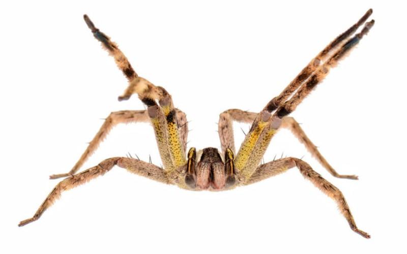 Бразильский странствующий паук (Phoneutria) В Книге рекордов Гиннесса пауки этого вида записаны как самые ядовитые пауки в мире. Яд странствующего паука – мощный нейротоксин, в 20 раз более опасный яда черной вдовы. Попадая в кровь, вызывает паралич дыхательной системы и приводит к мучительной смерти от удушья. Обитает в Южной и Центральной Америках.