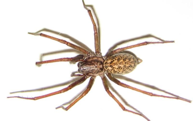 Паук-бродяга (Tegenaria Agrestis) Вопрос о том, опасен ли этот паук для человека, все еще остается открытым. Есть много предполагаемых случаев нападения паука-бродяги, укусы которых вызывают некроз тканей, но не представляют угрозы для жизни. Тем не менее они крайне агрессивны. Интересен тот факт, что этот вид относительно недавно перебрался на территорию Северной Америки. Раньше обитал по всей Европе, но, видимо, не выдержал конкуренции с более крупными пауками.