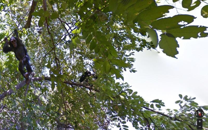 Национальный парк Гомбе, Танзания Спустя 50 лет, когда Джейн Гудолл начала здесь свои всемирно известные исследования поведения шимпанзе, команда Street View застала этих приматов все за теми же занятиями: ловлей термитов и принятием солнечных ванн. Конечная цель сделанных командойснимков – привлечь внимание общественности к проблеме сохранения заповедника в неприкосновенности.