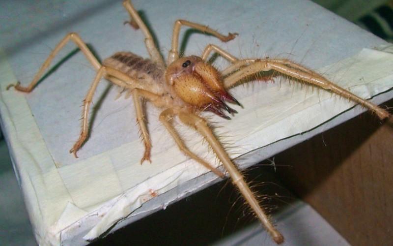 Верблюжий паук (Solifugae) В России известен под именем фаланга. Они выглядят так, будто явились из ночного кошмара арахнофоба и ведут себя соответствующе. Верблюжьи пауки непредсказуемы, способны разгоняться до 16 км/ч и их укус крайне болезнен. К счастью, они не ядовиты. Встречаются в любых засушливых местах, но по какой-то причине совсем не распространены в Австралии.