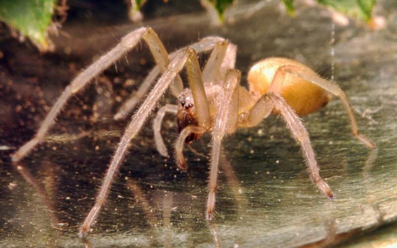 Желтый паук Сак (Cheiracanthium) Паук, размером едва достигающий 10 мм, своим ядом вызывает обширный некроз тканей в месте укуса. Это не смертельно, но крайне болезненно. Обитает золотистый паук в европейских странах, в Австралии и Канаде. Некоторые эксперты считают, что пауки это вида несут ответственность за большее число укусов, чем любые другие пауки.