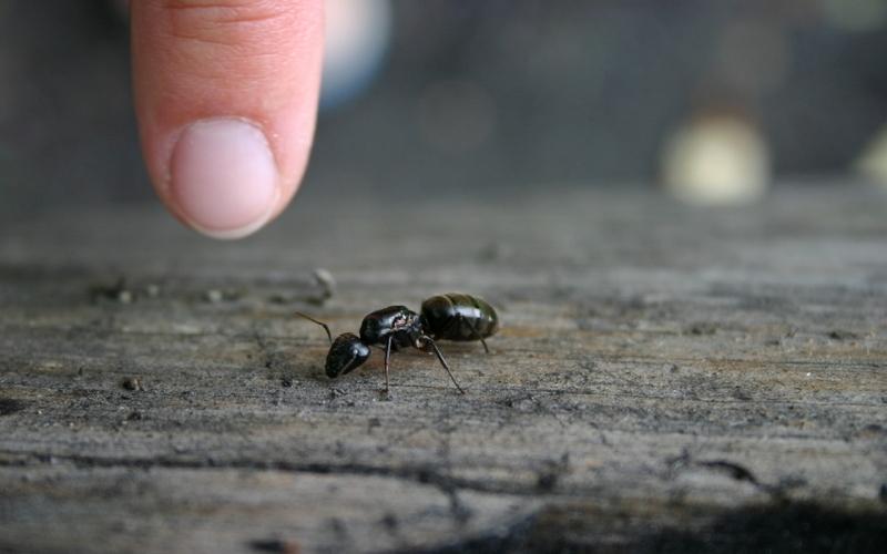 Избавиться от муравьев Если муравьи никак не хотят оставить в покое ваш дом, сбить со следа этих надоедливых насекомых можно очень просто. Разведите в распылителе в равных пропорциях воду и уксус, обрызгайте то место, откуда появляются муравьи. Уксус сотрет следы шестиногих захватчиков и дезориентирует их, гарантируя, что они никогда не вернутся.