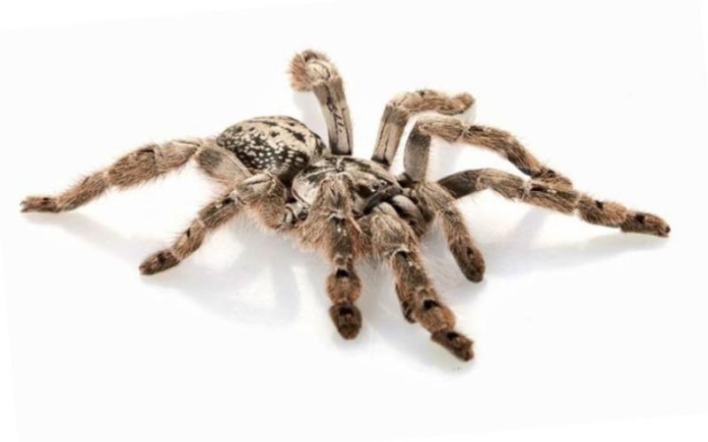 Орнаментальный тарантул (Poecilotheria) Тарантулы – огромные волосатые пауки из семейства пауков-волков. По легенде, эти пауки названы в честь танца, который, чтобы очиститься от яда, должны были станцевать укушенные ими люди. Укус большинства тарантулов не сильнее укуса пчелы, но укус орнаментального тарантула очень болезненный, а яд вызывает серьезные отеки. Встречается в странах Юго-Восточной Азии.