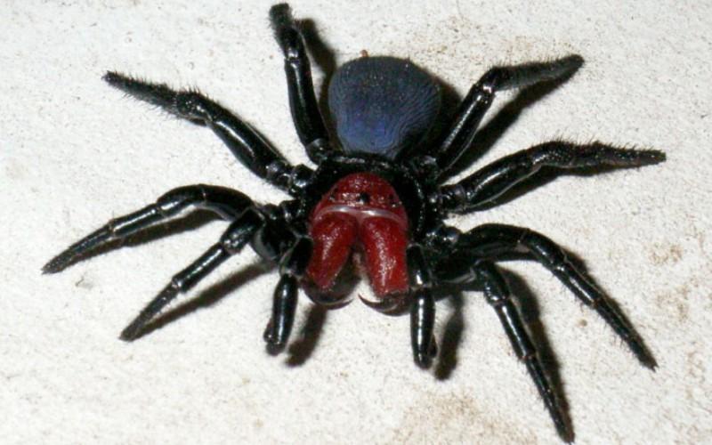 Мышиный паук (Missulena) Около 12 видов мышиных пауков обитает в Австралии. Вооруженные огромными ядовитыми клыками —хелицерами, довольно грозно выглядящими, эти пауки не так опасны, как кажутся. Их яд опасен для человека, но мышь-пауки не агрессивны, и часто, кусая свою жертву, делают «сухой» укус без яда.