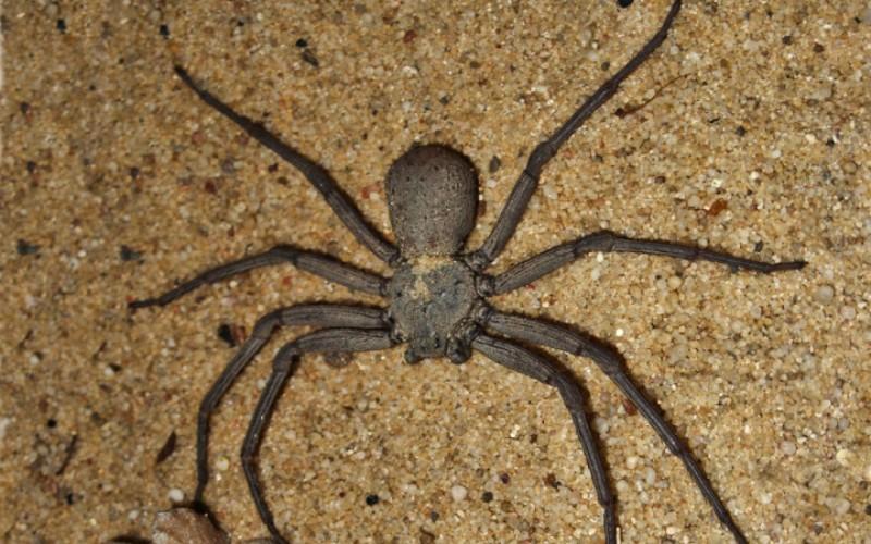 Шестиглазый песочный паук (Sicariushahni) Кто живет в пустынях Африки и имеет восемь ног и шесть глаз? Правильно, шестиглазый песочный паук. Их яд – мощный цитотоксин, способный убить кролика всего за пять часов. Этот паук, несомненно, опасен для человека, но к счастью, он обитает вдали от любого человеческого жилья. Было зафиксировано всего два случая нападения песочного паука на человека. К несчастью, оба с летальным исходом.