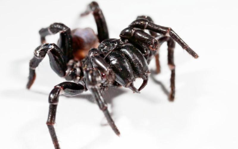 Сиднейский воронковый паук(Atrax robustus) Сиднейские пауки настоящие гиганты среди остальных пауков мира. В то время, как большинство паукообразных избегает людей, то воронковый паук агрессивен и всегда готов к бою. Его острые хелицерымогут прокусить даже кожаную обувь или ноготь и вколоть вам приличную дозу яда. Мощный нейротоксин вызывает мышечные спазмы, спутанность сознания и отек головного мозга. К счастью, после изобретения антидота в 1981 году, смертельных случаев не зафиксировано.