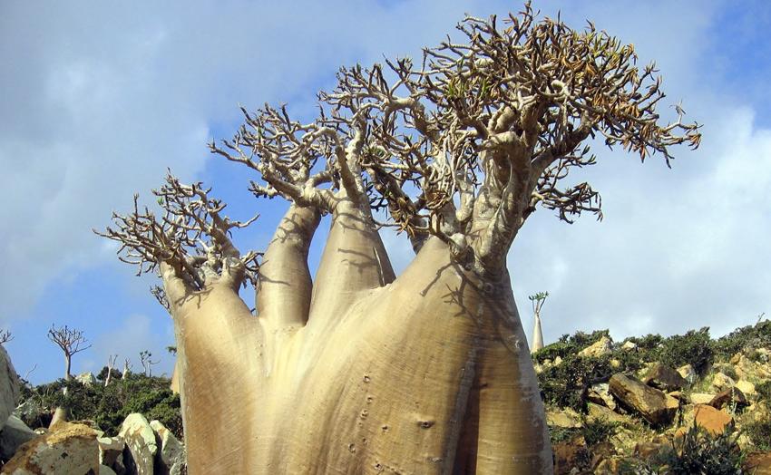 Еще одной визитной карточкой острова является «бутылочное дерево или Адениум тучный». Также на Сокотре распространено огуречное дерево, благовонные деревья из семейства бурзеровых и несколько видов алоэ.