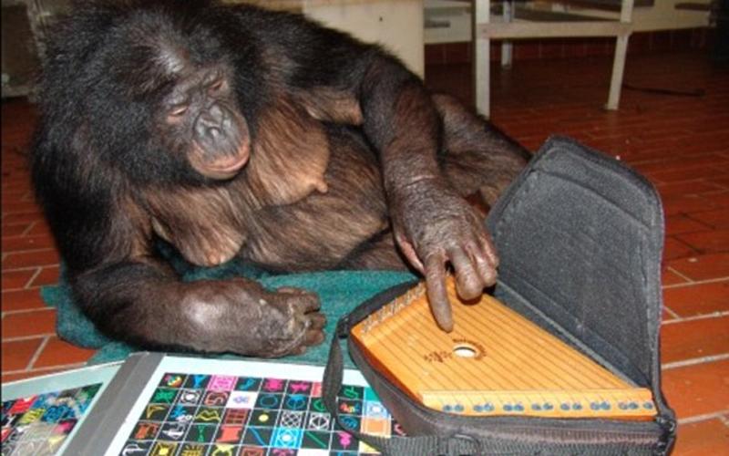 Кэнзи Но что же с животными, которые не имеют постоянного контакта с людьми? Бонобо по имени Кэнзи умел понимать три тысячи слов всего после года занятий с тренером. Он умел, слушая в наушник, понять, о чем идет речь — не видя ни оператора, ни саму эту вещь. Кэнзи с легкостью выполнял иболее сложные команды: взять мыло с кухни и отнести его в ванную, сложить одежду.