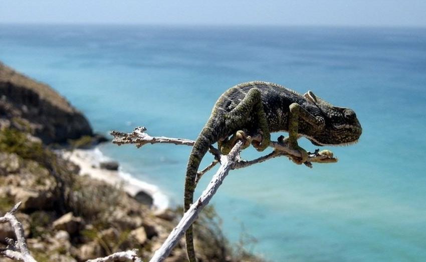 Большинство обитателей острова также являются эндемиками. Коренная фауна острова состоит из летучих мышей, эндемичных землероек, мелких пресмыкающихся, в том числе хамелеона Chamaele monachus, рептилий, паукообразных и насекомых. 27 видов сухопутных рептилий встречаются только на архипелаге.