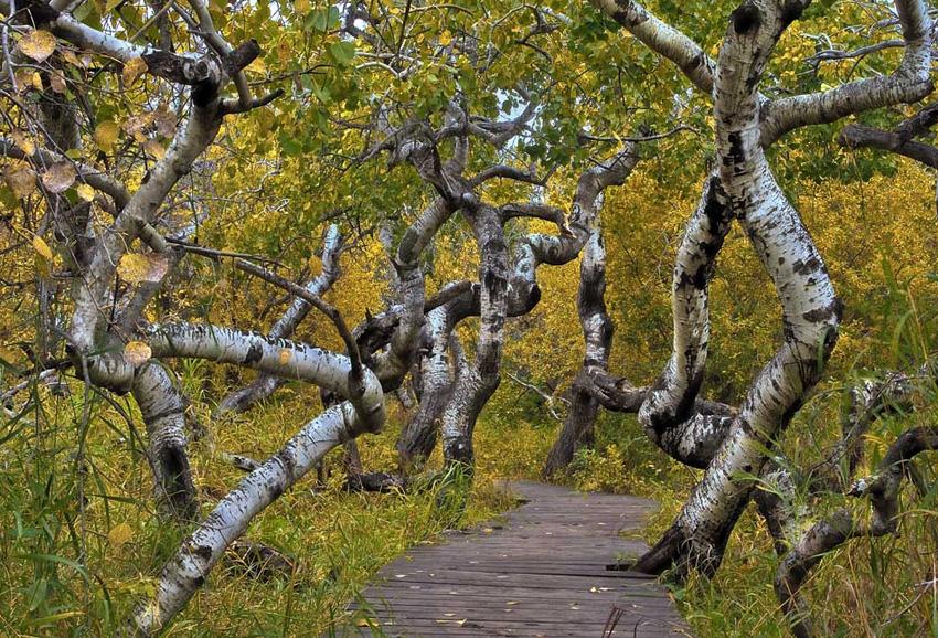 Кривые деревья, Канада Этот природный феномен для ученых пока остается загадкой. Исследователи лишь предполагают, что это может быть одним из проявлений генетической мутации. В результате какого-то воздействия стволы деревьев в роще провинции Саскачеван начали скручиваться, образовав извивающийся лес.