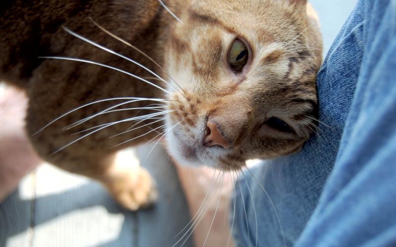 Кошачье приветствие Когда вы возвращаетесь домой после долгого отсутствия, ваша кошка начинает тереться об вас, и вы думаете, что ей опять что-то от вас нужно. Конечно, в большинстве случаев все так и есть, но вместе с тем этот жест является дружеской формой приветствия, способом сказать: «Ты вернулся! Я скучал по тебе». К такому выводу пришли исследователи, наблюдая семьи диких кошек (вопреки распространенному мнению, кошки не одиночки, и, одичав, собираются в группы). Когда они возвращаются с охоты, они могут некоторое время тереться друг об друга или даже положить друг другу хвост на спину. Этому жесту более-менее соответствуют человеческие объятия.