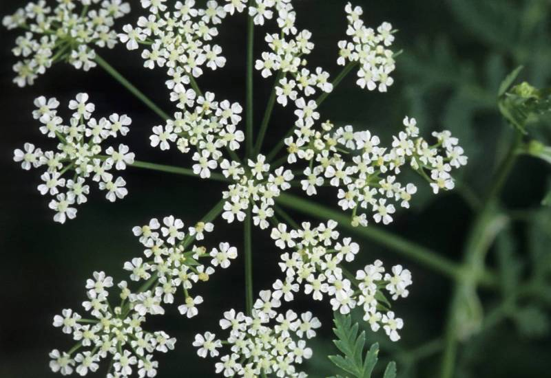 Болиголов Этот ядовитый цветок содержит огромное количество алкалоидов, вызывающих летальный исход у человека, воздействуя на его нервную систему. Яд, полученный из этого растения, наверно, самый известный в истории. Именно им убили знаменитого древнегреческого философа Сократа.