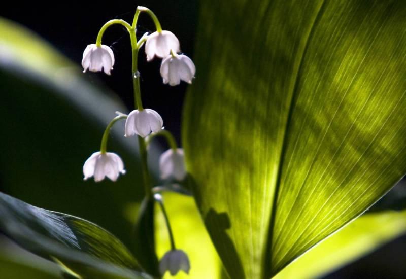 Ландыш Ландыши довольно красивые цветы, но они не так безобидны, как кажутся. Гликозиды, содержащиеся в этом ядовитом растении, опасны для людей с сердечными заболеваниями, так как вызывают аритмию и нарушают работу сердца. Отравление сопровождается тошнотой, рвотой, диареей и даже судорогами.