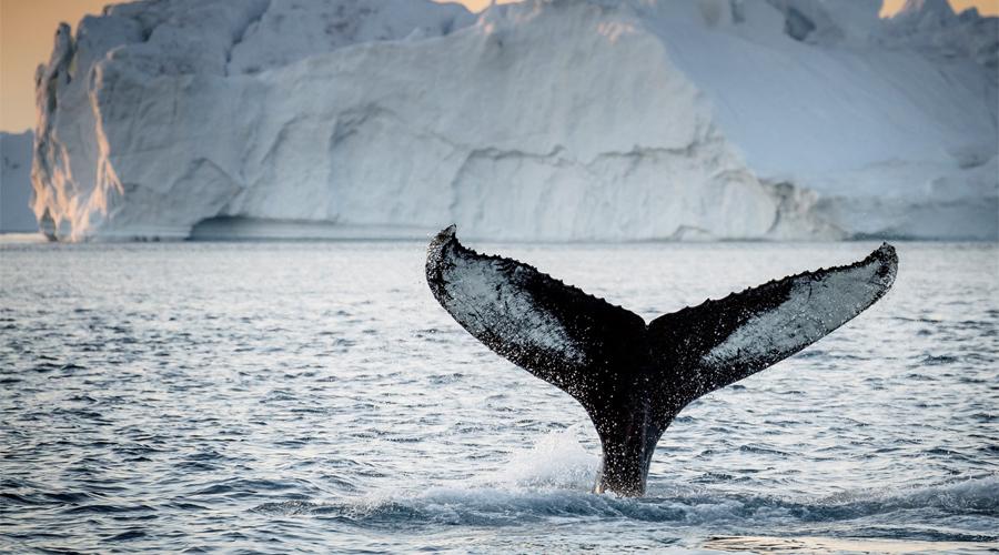 Гренландия Хотя викинги высадились в Гренландии еще в 1000-ом году, мы все еще открываем новые ее части, расположенные глубоко в северном регионе. Шесть новых, не тронутых цивилизацией острова у побережья Гренландии, были обнаружены сравнительно недавно, в 1999 году. Большая часть материковой части страны по-прежнему необитаема. Около 80 процентов территории острова покрыто ледяной шапкой.