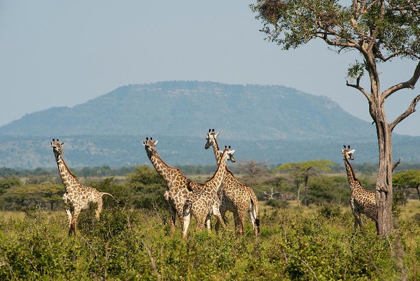 Селус, Африка Резерват занимает площадь в 54 600 км², что составляет около 5 % территории страны. Главными его обитателями являются слоны, бегемоты, жирафы, львы и другие типиные для саванны животные, которых можно увидеть в их естественной среде.