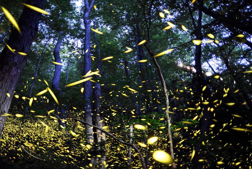 Грейт-Смоки-Маунтинс, США Помимо того, что в национальном парке можно увидеть в естественной среде 66 видов млекопитающих, в летний сезон на 2 недели он становится домом светлячков Photinus carolinus. В вечернее время они синхронно загораются каждые несколько секунд, устраивая своего рода природное световое шоу.