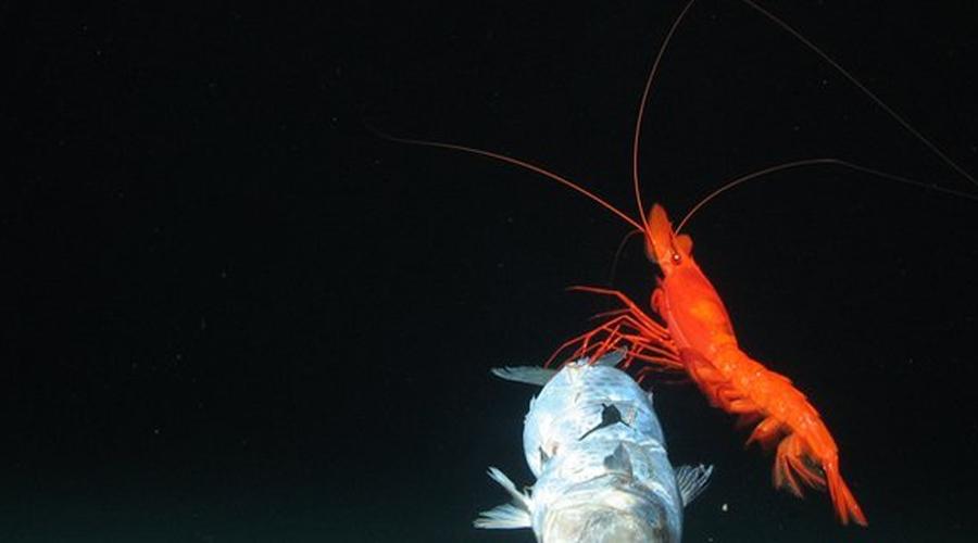 Разлом Новых Гебрид Тихий Океан Он расположен у восточного побережья Австралии. До конца 2013 года, ученые даже не смотрели в его сторону — на тех территориях и без того хватает белых пятен. Когда же исследователи из Великобритании и Новой Зеландии отправили подводных роботов в эту трещину на самом дне океана, то обнаружили совершенно новые виды глубоководных тварей, еще никогда и нигде до того не встречавшихся.