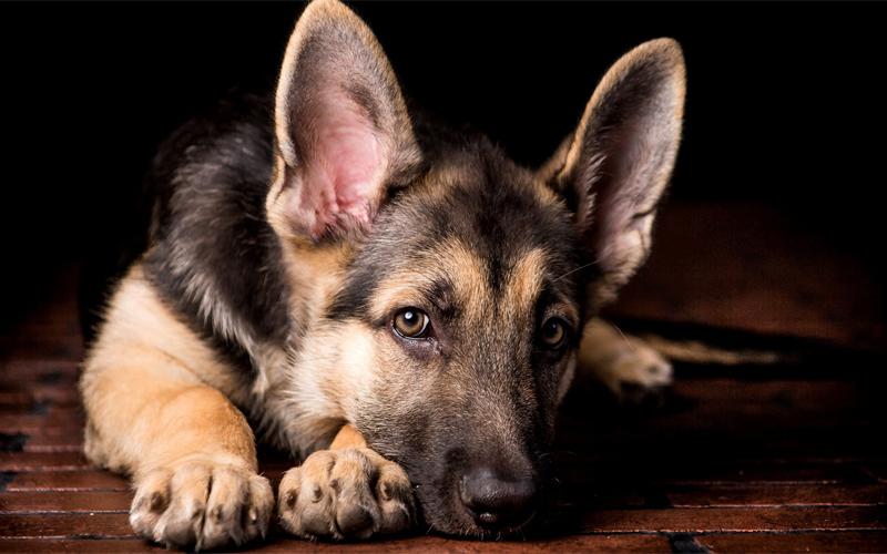 Уши С помощью ушей собака показывает практически всю гамму доступных ей чувств. В спокойном состоянии они практически не двигаются. В случае опасности встают торчком и наклоняются немного вперед. Назад — признак дружелюбия пса.