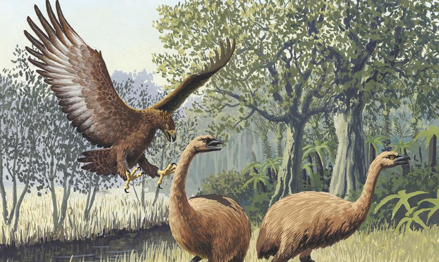 Орел Хааста Это самая крупная птица исторической эпохи. Весила она 10, а то и все 14 кг. Более крупными были самки. Размах их крыльев достигал до 2,6 метров. Основной средой обитания орла являлся Южный остров в Новой Зеландии. Питались они преимущественно птицами моа, а также другими крупными видами нелетающих птиц.