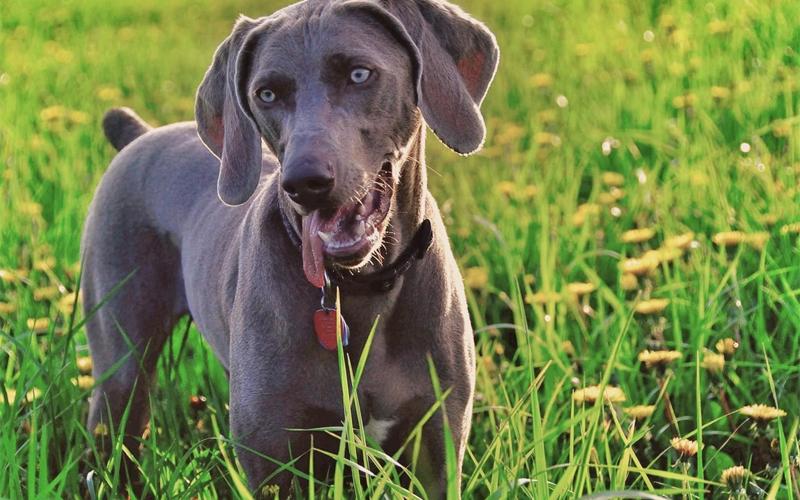 Взгляд Внимательно наблюдая за взглядом своей собаки, вы легко сможете понять ее настроение и даже предугадать дальнейшие действия. Пес может избегать зрительного контакта, это нормально, поскольку прямой взгляд в животном царстве обозначает угрозу. Искоса собака смотрит тогда, когда смущена произошедшим, или испытывает боль. Спокойный пес не будет отводить свои глаза сразу же, как вы на него посмотрите — он доверяет вам и чувствует себя уверенно. Угрозу может показывать «следящий» взгляд, когда собака, не встречаясь глазами, провожает вас.