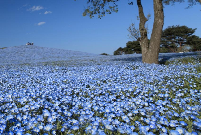 Парк Хитачи, Япония Национальный парк занимает 120 га. С весны до конца осени весь парк покрыт разноцветным ковром самых разных цветов.