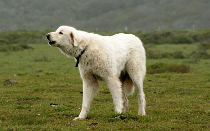 Размер Даже телом собака способна показать вам свое настоящее состояние. Испугавшись, она постарается стать как можно меньше. Сгорбленная спина, прижатый между лап хвост и мелкие шажки — пес находится на грани побега. Уверенная же постановка на все четыре лапы, выпяченная грудь и поднятая голова визуально увеличивают тело собаки и говорят о ее доминанте и готовности постоять за себя.