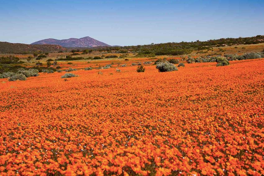 Намакваленд, Южная Африка Раз в год национальный парк Намакваленд из засушливой, безжизненной области превращается в настоящий оазис, в котором расцветают сотни тысяч ромашек.
