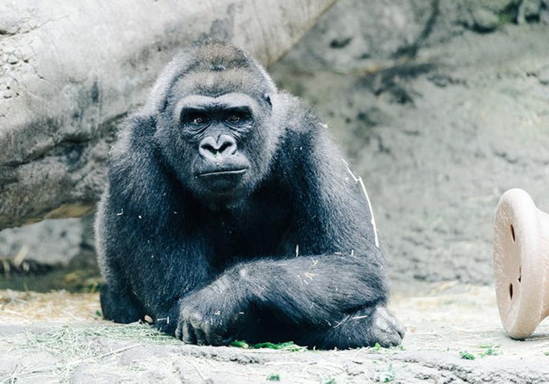 Перевозить гориллу Если вы перевозите гориллу на заднем сиденье — ни в коем случае не пристегивайте ее. На этом, почему-то, настаивает свод правил дорожного движения в Массачусеттсе.