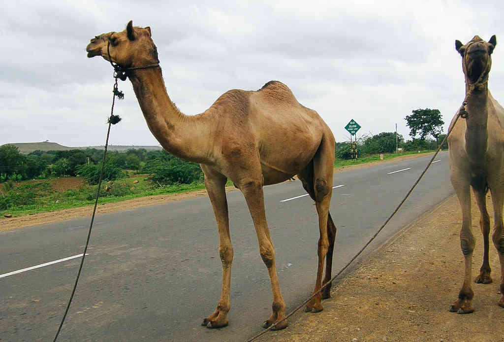 Верблюжья дискриминацияКак приятно бывает оседлать любимого верблюда и отправиться за горизонт, покорять еще неизведанные дали! К сожалению, против этого грудью встают правозащитники штата Невада. Появление верхом на верблюде на хайвее грозит путешественнику тюремным заключением.