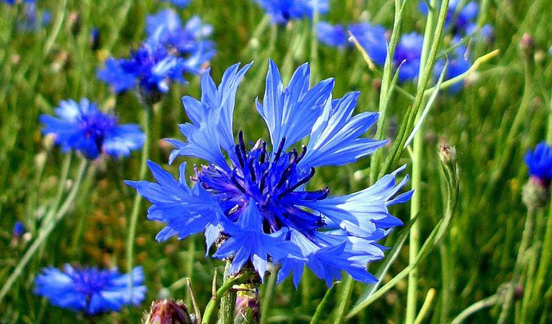 Василек синий Василек синий был известен еще древним грекам — отвары из него косвенно упоминаются во многих мифах. Простуда и кашель, почечные отеки и воспаления мочевого пузыря вполне поддаются корректному лечению с помощью этого природного антисептика. Но применять его нужно осторожно, поскольку в больших количествах отвары из этого растения могут оказать на организм и негативное влияние.