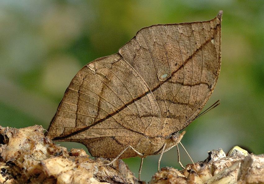 Каллимы Род дневных бабочек из семейства Nymphalidae маскируется под сухой лист. Когда крылья бабочки закрыты, рисунок на задней стороне крыльев напоминает очертания засохшего листа. Отличить бабочку от листа зачастую затруднительно даже с близкого расстояния.