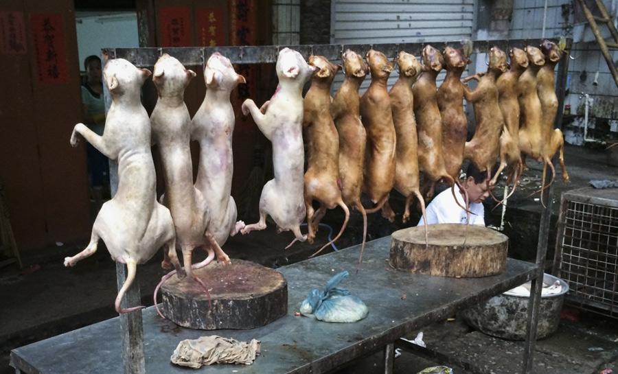 В день летнего солнцестояния в китайском городе Юлин готовят мясо кошек и собак. Эта жестокая традиция насчитывает уже более 600 лет. Ежегодно проведение фестиваля вызывает масштабные акции протеста по всему миру: миллионы защитников животных призывают отказаться от традиции и перейти на привычную еду.