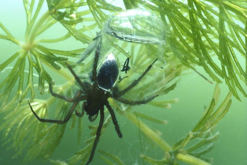 Водяной паук Если вы думаете, что пауки живут только на суше, значит вы просто еще не сталкивались с пауком-серебрянка из семейства Cybaeidae. Благодаря особенностям строения при погружении в воду воздух задерживается меджу волосками паука, позволяя ему долго оставаться под водой. Водяной паук обитает в медленно текущих и стоячих водах по всей Европе и Северной Азии.