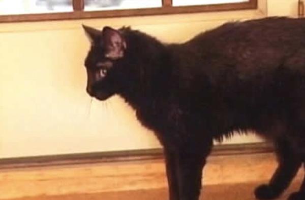 Кошка Беби, 37 лет Черная кошка Аль и Мэри Поласки прожила с ними 37 лет. Котенка супруги взяли к себе в 1970 году. Благодаря журналу Cat Fancy кошка-долгожитель из штата Миннесота стала местной знаменитостью.