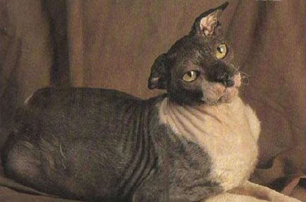 Кот Гранп Рекс Аллен, 34 года Cфинкса Гранпа Рекс Аллена Джек Перри забрал из приюта. Позднее новому хозяину удалось отыскать прежнего владельца. Ей оказалась мадам Сулинаберг из Парижа, приезжавшая вместе с котом в Техас навестить свою дочь. Во время ее приезда кто-то забыл закрыть дверь и кот сбежал, а вскоре оказался в приюте. Долголетие кота хозяин связывал с его рационом, в который входила яичница, бекон и спаржа. Кот дожил до 34 лет.