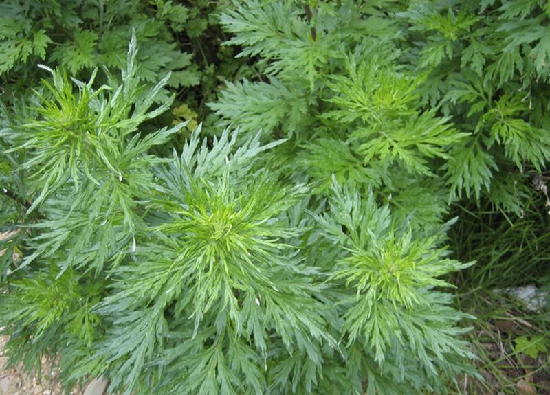 Амброзия полыннолистная Растение, внешне напоминающее полынь или коноплю, вырабатывает ядовитую пыльцу. В период цветения, когда концентрация пыльцы достигает своего пика, амброзия легко может вызвать аллергию и отправления. Нескольких крупинок пыльцы вполне достаточно, чтобы появилось воспаление глаз, затрудненное дыхание, слезоточивость глаз, а при особо больших дозах — конъюнктивит.