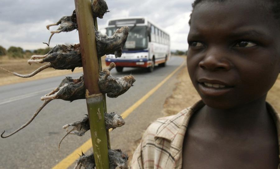 В Малави в пищу употребляют вареных крыс. Приобрести их можно прямо на обочине дороги.