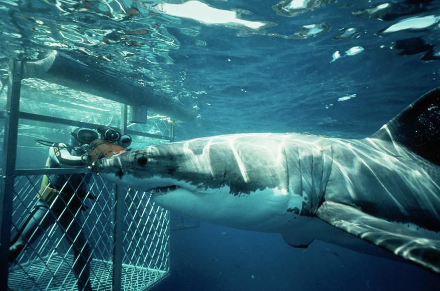 Гансбаай, Южная Африка Небольшой рыбацкий городок является одним из самых популярных курортов в провинции Западный Кейп и домом для более 60 000 морских котиков. Представители семейства ушастых тюленей — любимое лакомствобольших белых акул. Ими просто кишат воды Гансбаай. Желающие почувствовать себя героем фильма «Челюсти» погружаются в океан в металлической клетке. О свободных заплывах «без решеток» лучше забыть, уж слишком высок риск стать чьим-нибудь обедом.