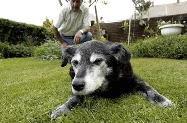 Собака Белла, 29 лет и 193 дня В течение 5 лет титул старейшей собаки удерживала Белла из Англии. Собака умерла в возрасте 29 лет и 193 дней от сердечного приступа, который случился во время прогулки с хозяевами.