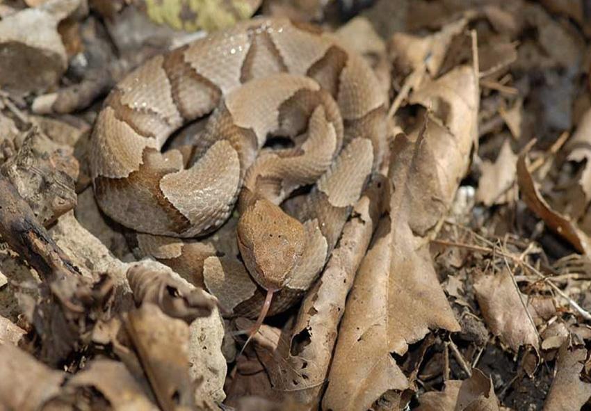Змеи К своей жертве змеи подкрадываются незаметно или поджидают ее где-нибудь неподалеку. За счет окраса они остаются незаметными. Расцветка змей имеет такое сочетание цветов и узоров, что они сливаются с окружающей обстановкой.